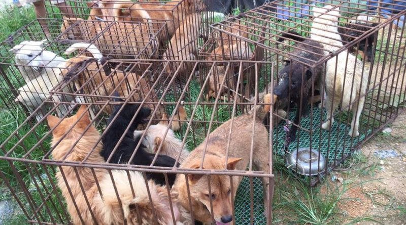 Along with local groups Human Society Internationale has rescued hundreds of dogs from the slaughter house. picture- Human Society International facebook page.