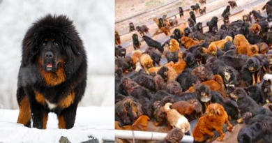 Once Owned by the Rich in China, Tibetan Mastiffs Now Abandoned