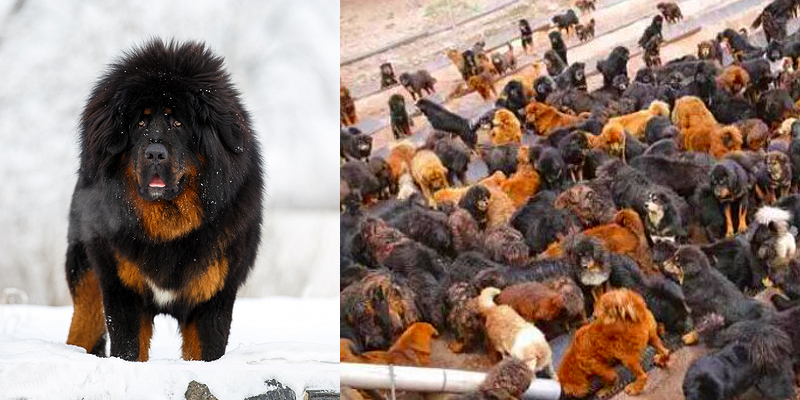 Once Owned by the Rich in China, Tibetan Mastiffs Now Abandoned - Tibetan  Journal
